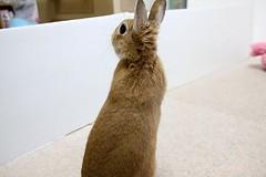 Ichigo san 789 (Ichigo Miyama) Tags: いちごさん。うさぎ ichigo san rabbitbunny netherlanddwarf brown ネザーランドドワーフ ペット いちご うさぎ rabbit