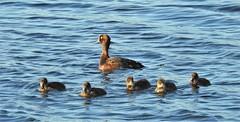 Tufted Duck and Five Ducklings (Gilli8888) Tags: nature wetlands nikon p900 coolpix northumberland druridge druridgeponds birds water waterbirds ducks tuftedduck ducklings five six