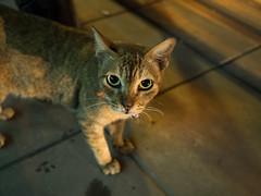 P7151114 (tatsuya.fukata) Tags: thailand samutprakan cat animal