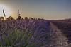 Atardecer en los campos. (nuri_bri) Tags: lavanda campsdelavanda guadalajara brihuega es espanya camposdecastilla camposdelavanda atardecer sunset postadesol