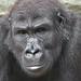 Quembo (siggi nobel) Tags: gorilla zoo frankfurt quembo