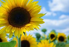 Sunflowers (sabrinasteiger1) Tags: sonnenblumen sunflower blume blüte blüten himmel sky wolken sommer summer july nürn ger germany deutschland nürnberg