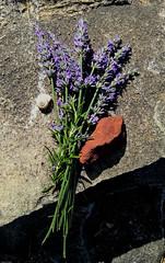 Lavender (H - D - O) Tags: lavender lavendel stair stufe schatten shadow snailshell schneckengehäuse