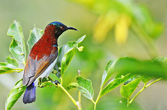 Purple-rumped Sunbird (Male) (Anuj Nair) Tags: ©anujnair purplerumpedsunbirdmale purplerumpedsunbird leptocomazeylonica sunbird