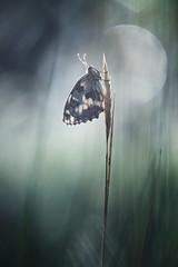 Au clair de la lune (donlope1) Tags: macro nature light butterfly papillon demideuil proxi insect morning sunrise dew bokeh dof macrodreams