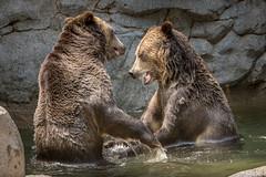 Wrestling in the Pool (helenehoffman) Tags: omnivore brownbear ursusarctoshorribilis wildlife grizzlybear nature pool ursus sandiegozoo conservationstatusleastconcern ursusarctos carnivore mammal animal