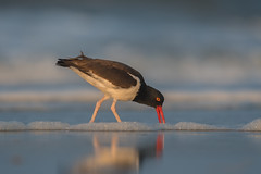 American Oystercatcher (nikunj.m.patel) Tags: american oystercatcher shorebird bird avian birds migration summer beach shore water outdoor morning nature wildlife photography crab nikon d500 600mm