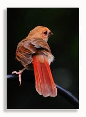 0720_2693 (Dennis J2007) Tags: bird birds cardinal