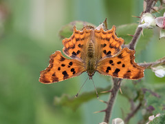 Comma (Brian Dunning) Tags: insect butterfly comma polygoniacalbum rspbleightonmoss lancashire canon eos7dmarkii ef300mmf4lisusm