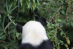 Großer Panda (2012) - National Zoo, Washington DC (HendrikSchulz) Tags: 2012 canon canoneos600d hendrikschulz hendriktschulz nationalzoo tierfotografie us usa unitedstates unitedstatesofamerica washingtondc zoo animalphotography zoophotography zoofotografie smithsonians smithsonian tamronsp70300f456vcusd tamronsp bear panda giantpanda pandabär groserpanda grosserpanda riesenpanda ailuropodamelanoleuca ursidae bambusbär prankenbär