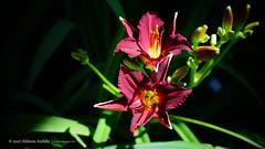 DSC00696 (Aldona Induła) Tags: sony a6000 bezedycji flower garden kwiat notedited ogród prostozaparatu straightfromthecamera