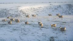 Sheep light (Ian@NZFlickr) Tags: sheep morning light snow hill mahinerangi road winter otago nz
