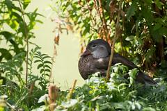 Mandarinente im Grünen (Anja van Zijl) Tags: mandarinduck mandarinente wasservogel watervogel bird ente eend animal tier tiere