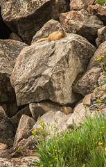 marmot and baby below rock (maryannenelson) Tags: colorado spencerbasin silverton mountains wildflowers marmots baby rocks