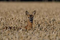 Roe Deer. (carl owlman) Tags: roedeer
