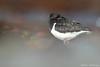 Oystercatcher (Mike Mckenzie8) Tags: haematopus ostralegus iceland bird wild wildlife summer silhouette sunrise dawn beach canon