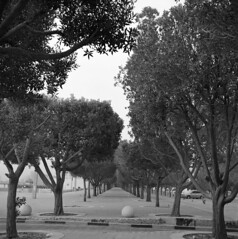 Trees are full of song (nickvelarde) Tags: salmiya ofw pinoy kuwait trix400 yashicamat analog film tlr yashica trees nature lines bw blackandwhite monochrome
