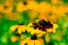 Golden Lady (christopherdeacon) Tags: afternoon flower garden outdoors summer yellow painting art meyeroptik meyeroptiktrioplan dof depthoffield shallowdof bokeh soapbubble