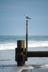20160809-IMG_0440 (ranzino) Tags: jerseyshore newjersey stoneharbor vacaction animal beach bird danger jetty nj ocean seagull unitedstates us