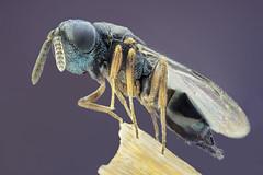 Wasp. F. Chalcid 1,5mm (dorolpi) Tags: