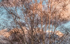 'Utter Chaos' (Canadapt) Tags: birch trees clouds sunset pink blue branches random pattern canadapt