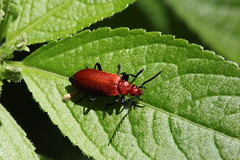 Pyrochroa serraticornis Twyford Wood May 2017 (Aidehua2013) Tags: pyrochroa serraticornis pyrochroidae coleoptera beetle insect invertebrate commoncardinalbeetle twyfordwood lincolnshire england uk