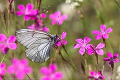 Pihlajaperhonen (mvert) Tags: aporiacrataegi dianthusdeltoides eläimet hyönteiset kasvit ketoneilikat kukat perhoset pihlajaperhoset