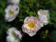 Rose in focus  Explore (Jane Desforges) Tags: roses pink central focus garden sunshine summer