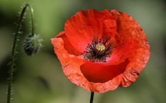 For A Poppy Sunday (AnyMotion) Tags: poppy klatschmohn papaverrhoeas blossom blüte bud knospe bokeh 2015 plants pflanzen garden garten anymotion nature natur blumen floral flowers frankfurt 7d2 canoneos7dmarkii colors colours farben red rot green grün summer sommer été verano zomer estate