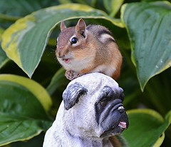 The Chipmunk Just Met Boo Lefou! (DaPuglet) Tags: chipmunk pug pugs chipmunks rodent nature wildlife animal animals mammal garden statue pugstatue coth coth5 sunrays5