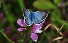 Blue Sunday (Hugo von Schreck) Tags: hugovonschreck butterfly schmetterling bläuling falter macro makro insect insekt canoneos5dsr tamron28300mmf3563divcpzda010 onlythebestofnature