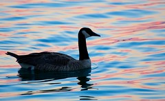 Goose in Pastels (imageClear) Tags: goose nature wildlife bird canadagoose color pastels evening reflections lovely beauty profile aperture nikon d500 200500mm imageclear flickr photostream