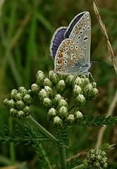Icarusblauwtje gespot bij de Moerputten (truus1949) Tags: wandelen halvezolenlijntje moerputten zeldzaam vlinder
