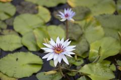 Summer_Garden_Club_July_2017_026 (hcprecinct4) Tags: garden flowers gardening botanic mercer gardens gingers water lilies