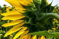 AUB_8957-Edit (Lookingoodimages2017) Tags: flowers sunflower yellow petals leaves green macro
