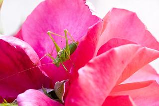 Grasshopper between Rose petals