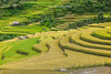 _MG_5326.0911.Dế Xu Phình.Mù Cang Chải.Yên Bái (hoanglongphoto) Tags: asia asian vietnam northvietnam northwestvietnam landscpe scenery vietnamlandscape vietnamscene vietnamscenery terraces terracedfields terracedfieldsatvietnam terracedfieldsatmucangchai harvest hillside canon canon5dmarkii canonef70200mmf28lisiiusmlens tâybắc yênbái mùcangchải dếxuphình ruộngbậcthang ruộngbậcthangmùcangchải lúachín mùagặt mùcangchảimùgặt mùcangchảimùalúachín sườnđồi