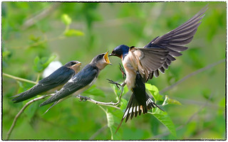 Barn Swallow (Explore, Aug 1st, #93)