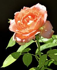 A vibrant summer rose (mariposa lily) Tags: rose roses flower flowers yankeedoodlerose bloom blooms nikond3300 nikon d3300 flora garden gardening blossom blossoms flowerscoloronly