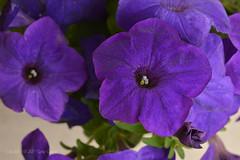 Day 207/365, 2017 - Vol II (Gaviotita) Tags: nikon nikond3200 flower flor purplepetunia petunia nature naturaleza july july2017