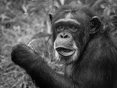 Chimp (Dell's Pics) Tags: chester zoo animal captivity olympus omd em5 chimp chimpanzee monkey ape bw blackandwhite mono monotone