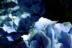 spotlight (nelesch14) Tags: sun sunlight summer macro nature flower hortensia hydrangea blue shadow spotlight