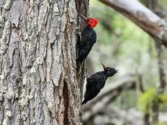 Magellanic Woodpecker (nickathanas) Tags: picidae magellanicwoodpecker campephilusmagellanicus