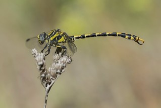 Blue-eyed hook-tailed dragonfly but is very carefull with females !!!