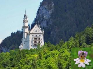 Somberly Bright. Neuschwanstein Castle and Eye-Bright, Euphrasia officinalis, Hohenschwangau, Bavaria, Germany