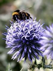 The bee and the ball thistle..x (shona.2) Tags: weed globethistle edinburgh botanicalgardens scotland flower ballthistle thistle bee