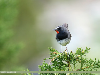 White-tailed Rubythroat (Luscinia pectoralis)