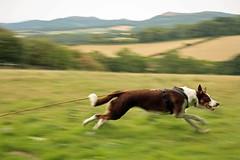 31/52 Speedy! (meg price) Tags: 52weeksfordogs flynn bordercollie dog littledoglaughedstories