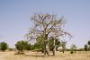 Baobab tree (CIFOR) Tags: africa ebolavirus dryforests kongoussi burkinafaso villageofsindri foodconsumption environmentalimpact fruits cifor horizontal climatechange centrenord bf baobabfruits