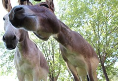 donkey faces 2 (EllenJo) Tags: donkeys burros clarkdaleburros canonrebel july13 2017 ellenjo verdecanyonrailroad depot traindepot equine